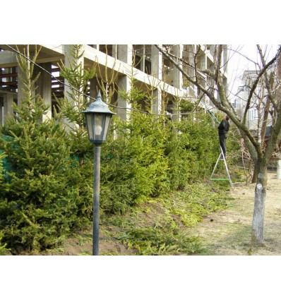 Обрезка живой изгороди из хвойных пород деревьев и кустов